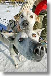 big, california, dogs, lake tahoe, mushing, nose, vertical, west coast, western usa, photograph