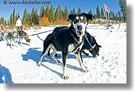 california, dogs, fisheye lens, horizontal, lake tahoe, lead, mushing, west coast, western usa, photograph
