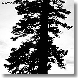 california, lake tahoe, scenics, silhouettes, square format, trees, west coast, western usa, photograph