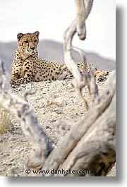 california, cheetah, living desert, vertical, west coast, western usa, photograph