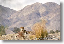 california, cheetah, horizontal, living desert, west coast, western usa, photograph