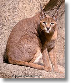 california, living desert, lynx, vertical, west coast, western usa, photograph
