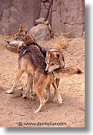 california, living desert, vertical, west coast, western usa, wolves, photograph