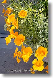 california, flowers, marin, marin county, north bay, northern california, poppies, san francisco bay area, vertical, west coast, western usa, photograph