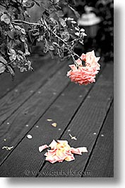 black and white, california, color composite, color/bw composite, dying, flowers, marin, marin county, north bay, northern california, roses, san francisco bay area, vertical, west coast, western usa, photograph
