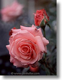 california, flowers, marin, marin county, north bay, northern california, pink, roses, san francisco bay area, vertical, west coast, western usa, photograph