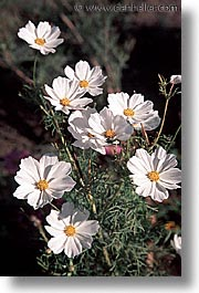 california, cosmos, flowers, marin, marin county, north bay, northern california, san francisco bay area, vertical, west coast, western usa, white, photograph