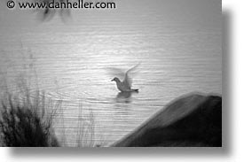 birds, black and white, california, greenbrae, horizontal, marin, marin county, north bay, northern california, san francisco bay area, west coast, western usa, photograph