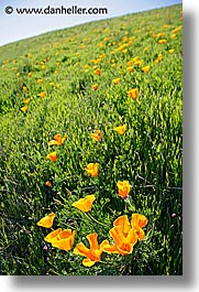 california, lucas valley, marin, marin county, north bay, northern california, poppies, san francisco bay area, vertical, west coast, western usa, photograph