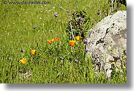 california, horizontal, lucas valley, marin, marin county, north bay, northern california, poppies, san francisco bay area, west coast, western usa, photograph