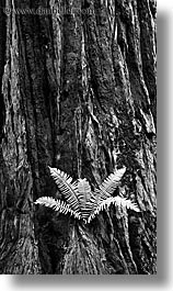 black and white, california, ferns, forests, long exposure, marin, marin county, muir woods, nature, north bay, northern california, plants, redwoods, trees, vertical, west coast, western usa, photograph