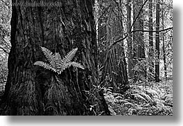 black and white, california, ferns, forests, horizontal, long exposure, marin, marin county, muir woods, nature, north bay, northern california, plants, redwoods, trees, west coast, western usa, photograph