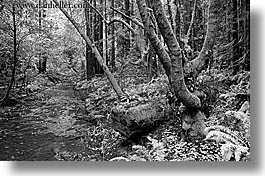 black and white, california, forests, horizontal, marin, marin county, mossy, muir woods, nature, north bay, northern california, plants, rivers, trees, west coast, western usa, photograph