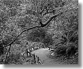 black and white, california, forests, horizontal, marin, marin county, muir woods, nature, north bay, northern california, paths, paved, plants, slow exposure, trees, west coast, western usa, photograph