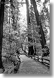 black and white, california, forests, marin, marin county, muir woods, nature, north bay, northern california, paths, paved, plants, trees, vertical, west coast, western usa, photograph
