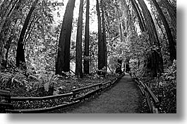 black and white, california, forests, horizontal, marin, marin county, muir woods, nature, north bay, northern california, paths, paved, plants, trees, west coast, western usa, photograph