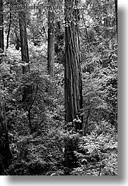 black and white, california, forests, long exposure, marin, marin county, muir woods, nature, north bay, northern california, plants, redwoods, trees, vertical, west coast, western usa, photograph