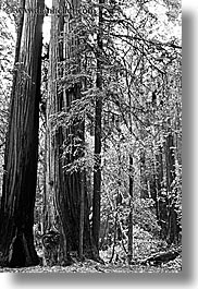 black and white, california, forests, marin, marin county, muir woods, nature, north bay, northern california, plants, redwoods, trees, vertical, west coast, western usa, photograph