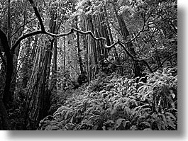 black and white, branches, california, crooked, forests, horizontal, long exposure, marin, marin county, muir woods, nature, north bay, northern california, plants, redwoods, trees, west coast, western usa, photograph