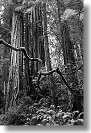 black and white, branches, california, crooked, forests, long exposure, marin, marin county, muir woods, nature, north bay, northern california, plants, redwoods, trees, vertical, west coast, western usa, photograph