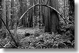 black and white, branches, california, forests, horizontal, marin, marin county, mossy, muir woods, nature, north bay, northern california, plants, redwoods, trees, west coast, western usa, photograph