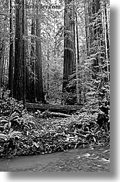 black and white, california, forests, marin, marin county, muir woods, nature, north bay, northern california, plants, redwoods, rivers, trees, vertical, west coast, western usa, photograph