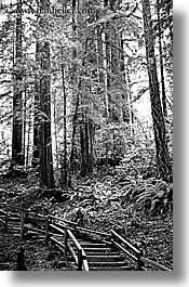 black and white, california, forests, marin, marin county, muir woods, nature, north bay, northern california, paths, plants, redwoods, stairs, trees, vertical, west coast, western usa, photograph