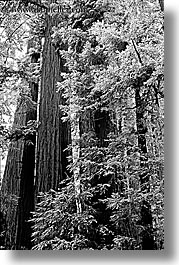 black and white, california, forests, marin, marin county, muir woods, nature, north bay, northern california, plants, redwoods, towering, trees, vertical, west coast, western usa, photograph