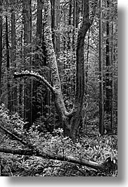 black and white, california, forests, long exposure, marin, marin county, muir woods, nature, north bay, northern california, plants, shaped, trees, vertical, west coast, western usa, photograph