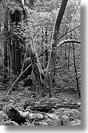 black and white, california, forests, marin, marin county, muir woods, nature, north bay, northern california, plants, shaped, trees, vertical, west coast, western usa, photograph