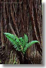 california, colors, ferns, forests, green, long exposure, lush, marin, marin county, muir woods, nature, north bay, northern california, plants, redwoods, trees, vertical, west coast, western usa, photograph