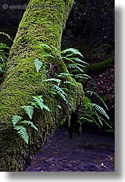 california, colors, ferns, forests, green, long exposure, lush, marin, marin county, mossy, muir woods, nature, north bay, northern california, plants, trees, vertical, west coast, western usa, photograph