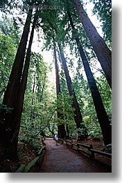 california, colors, forests, green, lush, marin, marin county, muir woods, nature, north bay, northern california, paths, paved, plants, trees, vertical, west coast, western usa, photograph