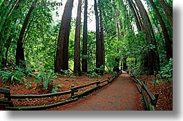 california, colors, forests, green, horizontal, lush, marin, marin county, muir woods, nature, north bay, northern california, paths, paved, plants, trees, west coast, western usa, photograph