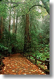 california, colors, fall colors, fences, forests, green, leaves, lush, marin, marin county, muir woods, nature, north bay, northern california, paths, paved, plants, redwoods, trees, vertical, west coast, western usa, photograph