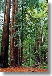 california, colors, forests, green, lush, marin, marin county, muir woods, nature, north bay, northern california, plants, redwoods, trees, vertical, west coast, western usa, photograph