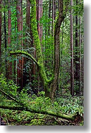 california, colors, forests, green, long exposure, lush, marin, marin county, muir woods, nature, north bay, northern california, plants, shaped, trees, vertical, west coast, western usa, photograph