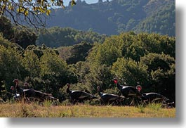 california, horizontal, landscapes, marin, marin county, nature, north bay, northern california, novato, scenics, stafford lake park, trees, turkeys, west coast, western usa, photograph