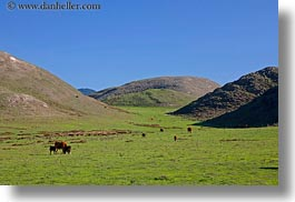 animals, california, cows, grazing, hills, horizontal, marin, marin county, nature, north bay, northern california, scenics, west coast, western usa, photograph