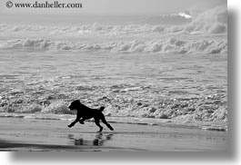 beaches, black and white, california, dogs, haze, horizontal, marin, marin county, north bay, northern california, running, west coast, western usa, photograph