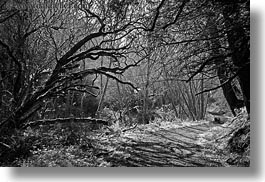 bear valley trail, black and white, california, forests, horizontal, lined, marin, marin county, nature, north bay, northern california, paths, plants, tree tunnel, trees, west coast, western usa, photograph