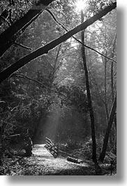 bear valley trail, black and white, bridge, california, forests, marin, marin county, nature, north bay, northern california, plants, sky, sun, sunbeams, tree tunnel, trees, vertical, west coast, western usa, woods, photograph