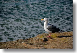 animals, bear valley trail, birds, california, horizontal, marin, marin county, north bay, northern california, ocean, seagulls, shoreline, west coast, western usa, photograph