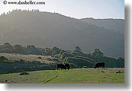 animals, california, cows, grazing, horizontal, marin, marin county, north bay, northern california, olema, west coast, western usa, photograph
