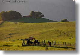 california, cows, grazing, hills, horizontal, marin, marin county, nature, north bay, northern california, olema, scenics, west coast, western usa, photograph