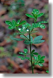 california, colors, dew, droplets, green, leaves, lush, marin, marin county, nature, north bay, northern california, phoenix lake park, ross, scenics, vertical, water, water drop, west coast, western usa, photograph
