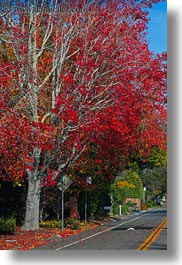 california, fall foliage, forests, marin, marin county, nature, north bay, northern california, phoenix lake park, plants, red, roads, ross, scenics, trees, vertical, west coast, western usa, photograph