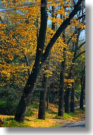 california, fall foliage, foliage, forests, marin, marin county, nature, north bay, northern california, phoenix lake park, plants, ross, scenics, trees, vertical, west coast, western usa, yellow, photograph