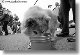 black and white, buckets, california, dogs, drinking, from, horizontal, mendocino, west coast, western usa, photograph