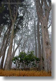 california, eucalyptus, fog, mendocino, nature, perspective, plants, trees, upview, vertical, west coast, western usa, photograph